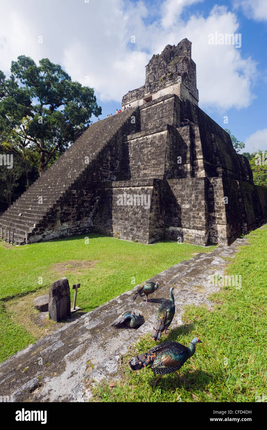Turkeys at a pyramid in the Mayan ruins of Tikal, UNESCO World Heritage Site, Guatemala, Central America - Stock Image