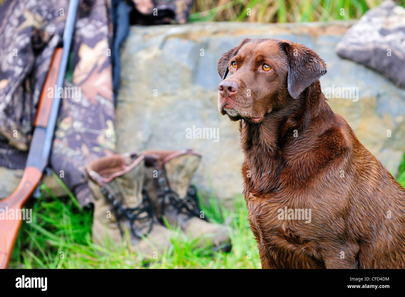 Chocolate Lab beside a Cooey12 gauge single shot shotgun, a camouflage jacket and boots, Duncan, British Columbia, - Stock Image