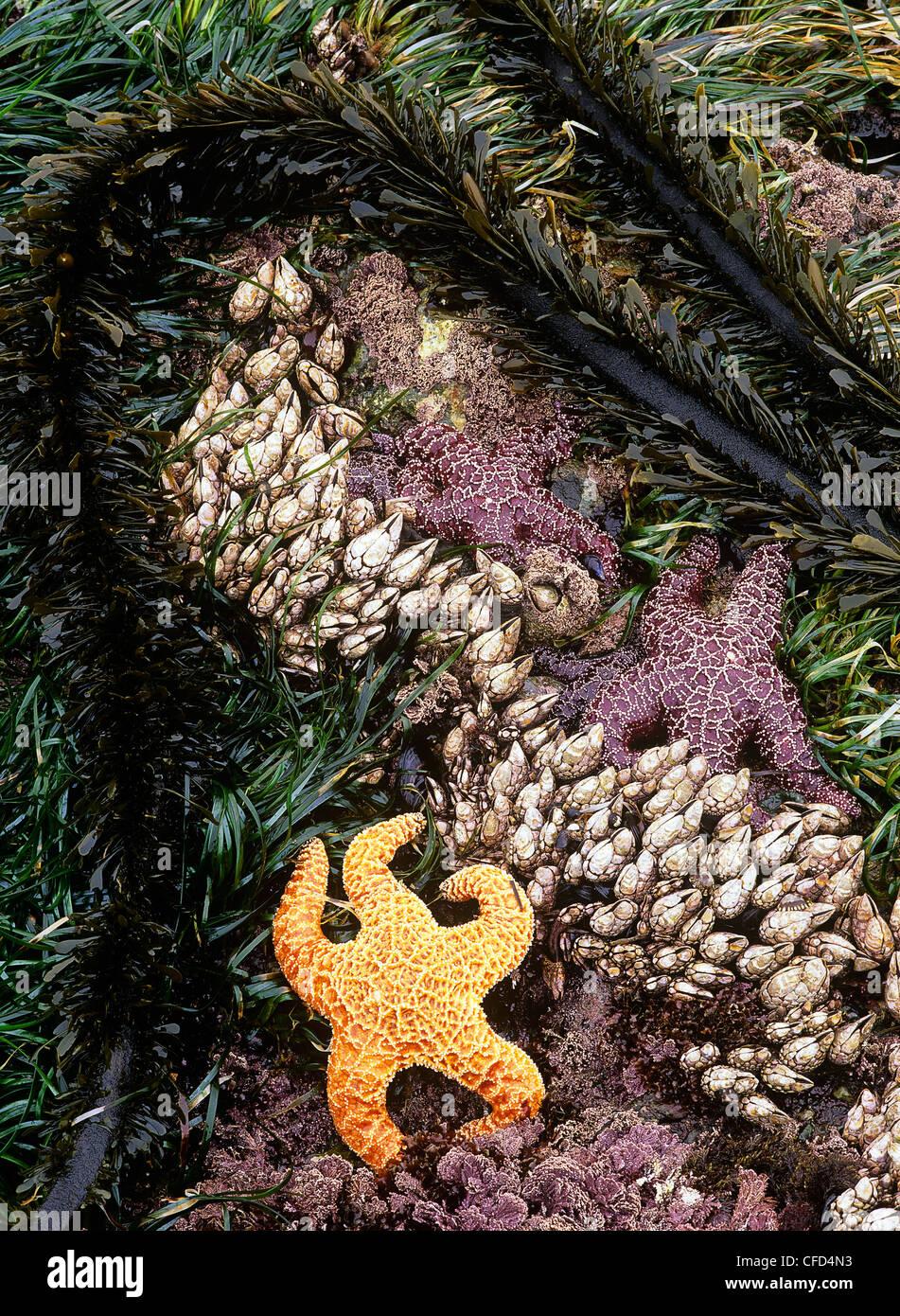 Intertidal life at low tide, Vancouver Island, British Columbia, Canada. - Stock Image