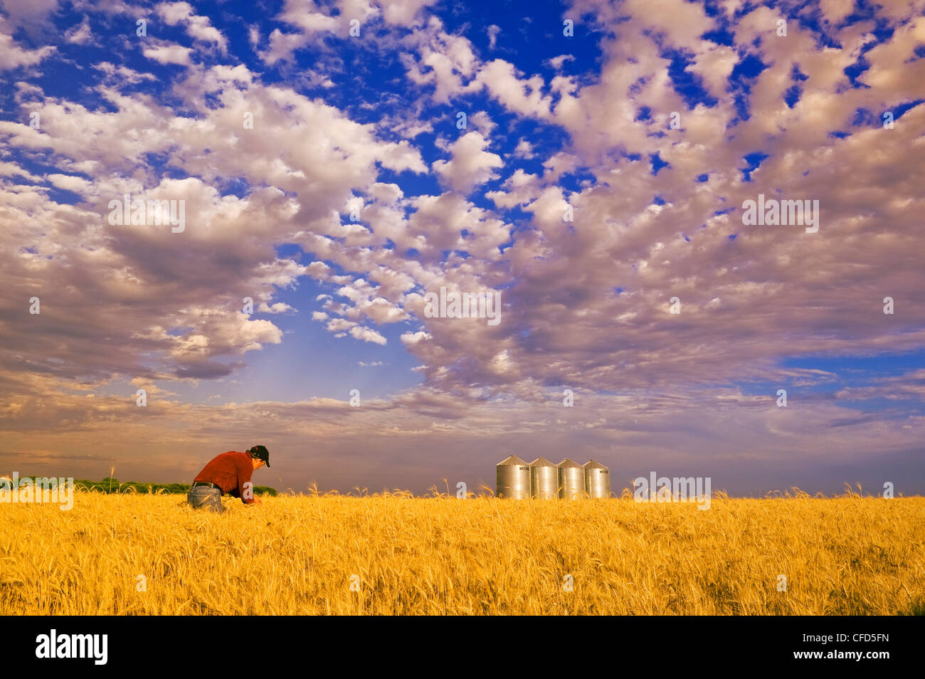 A man in a mature winter wheat field with grain bins in the background, near Carey, Manitoba, Canada - Stock Image