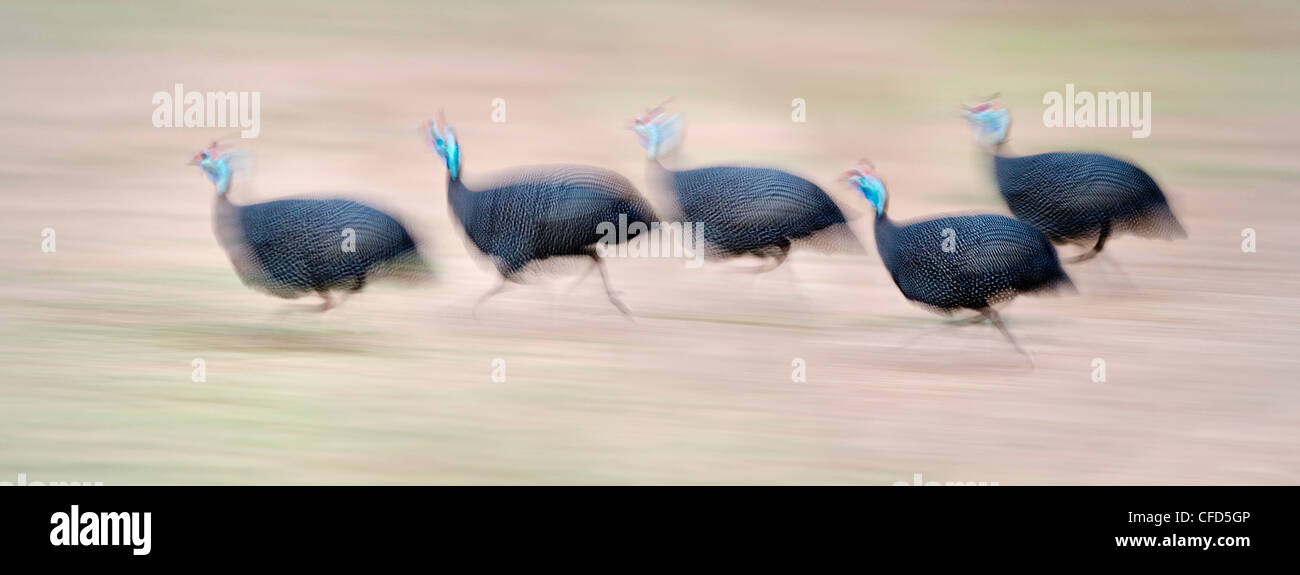 Flock of Helmeted Guineafowl running on the banks of the Luangwa River. South Luangwa, Zambia (digitally stitched Stock Photo