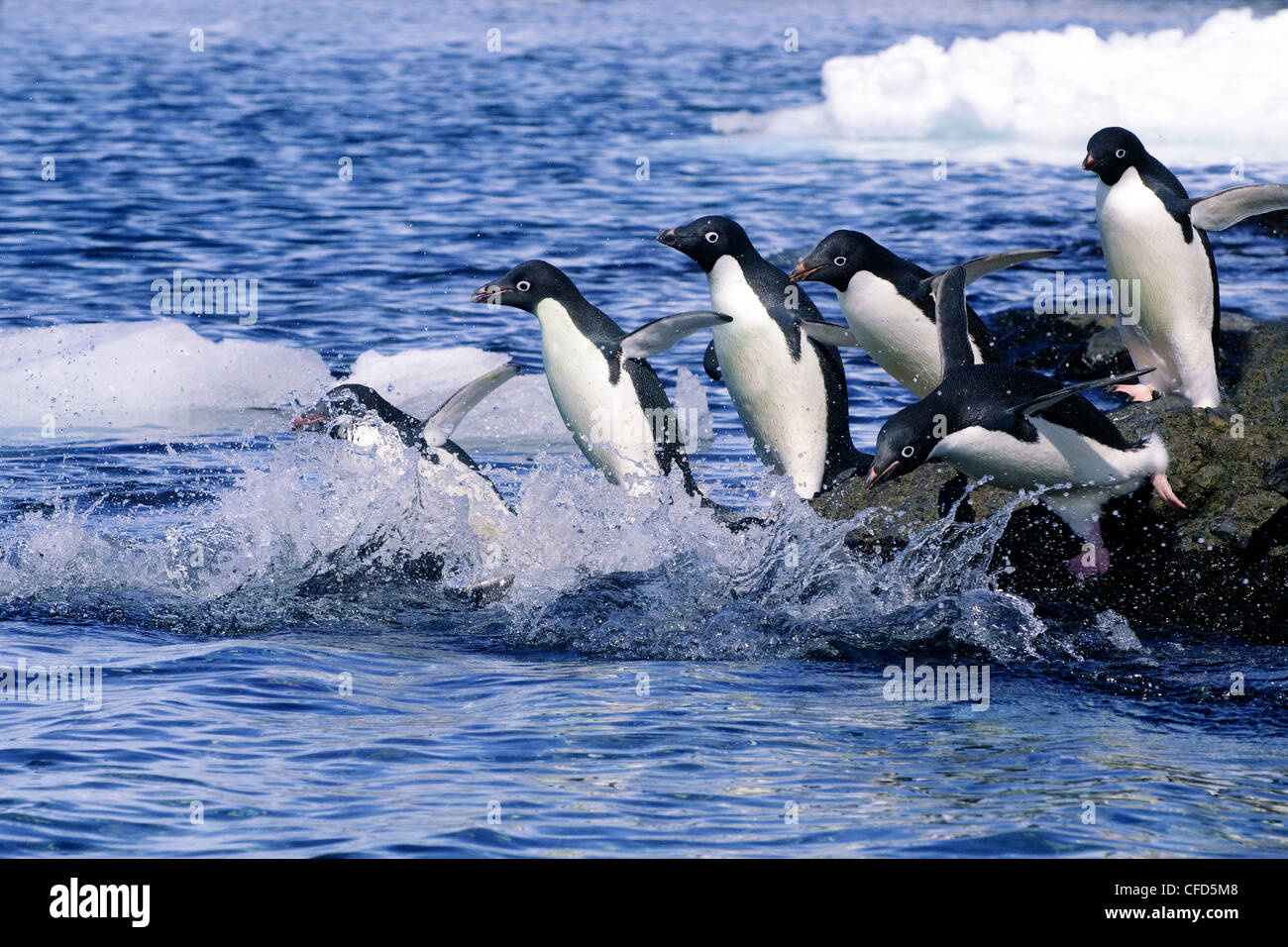 Adelie penguins (Pygoscelis adeliae) leaving on a foraging trip from their nesting colony, Antarctic Peninsula, - Stock Image