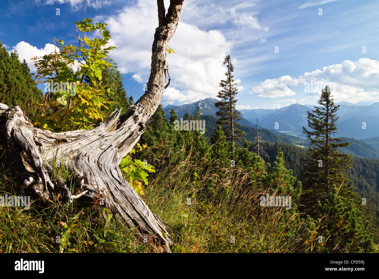 Weathered sycamore maple tree in Blauberge mountains, view onto Achental Valley, Alps, Austria, Europe Stock Photo