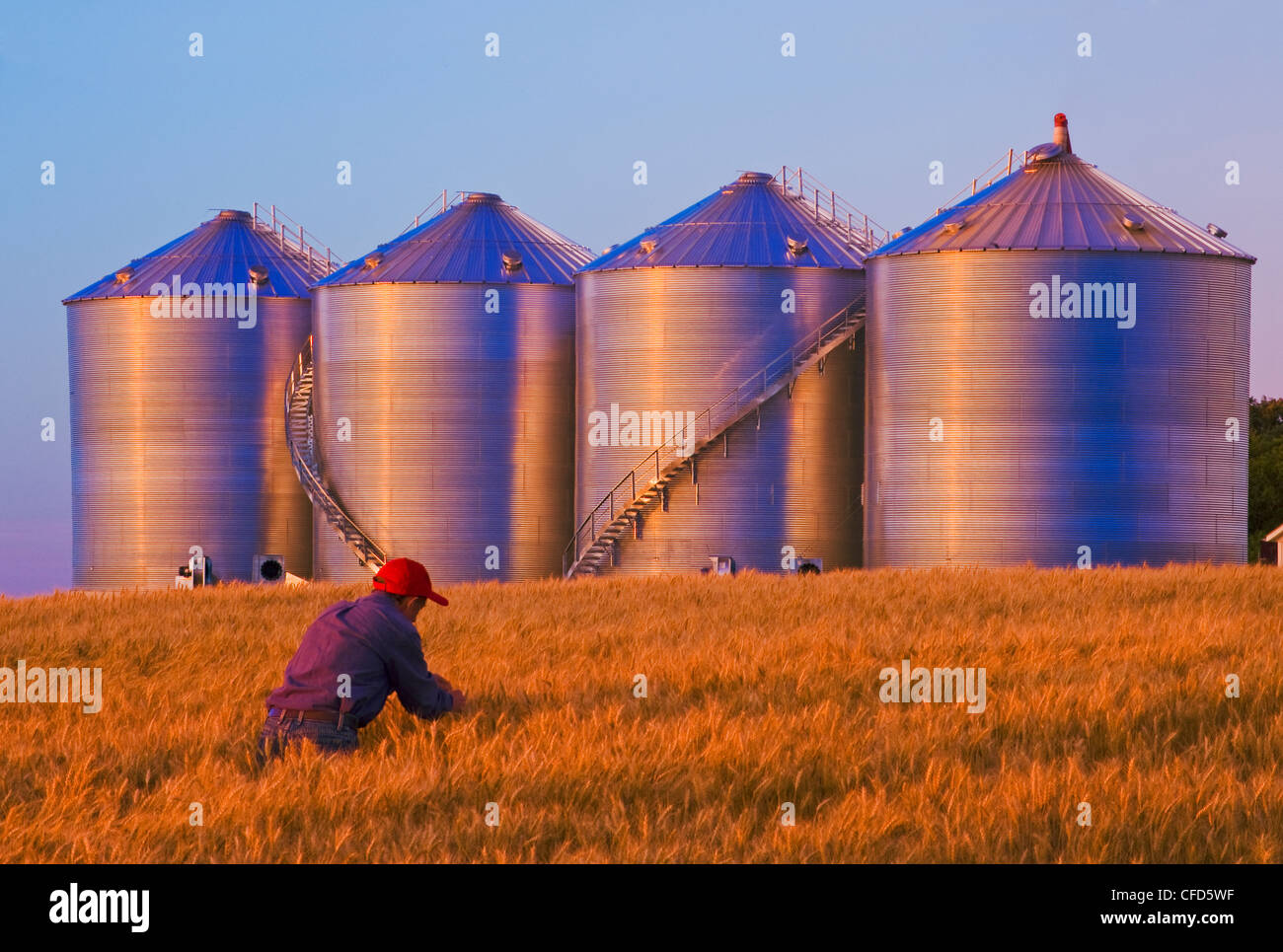 Man checking mature wheat in a field with new grain bins(silos) in the background, near Holland, Manitoba, Canada - Stock Image