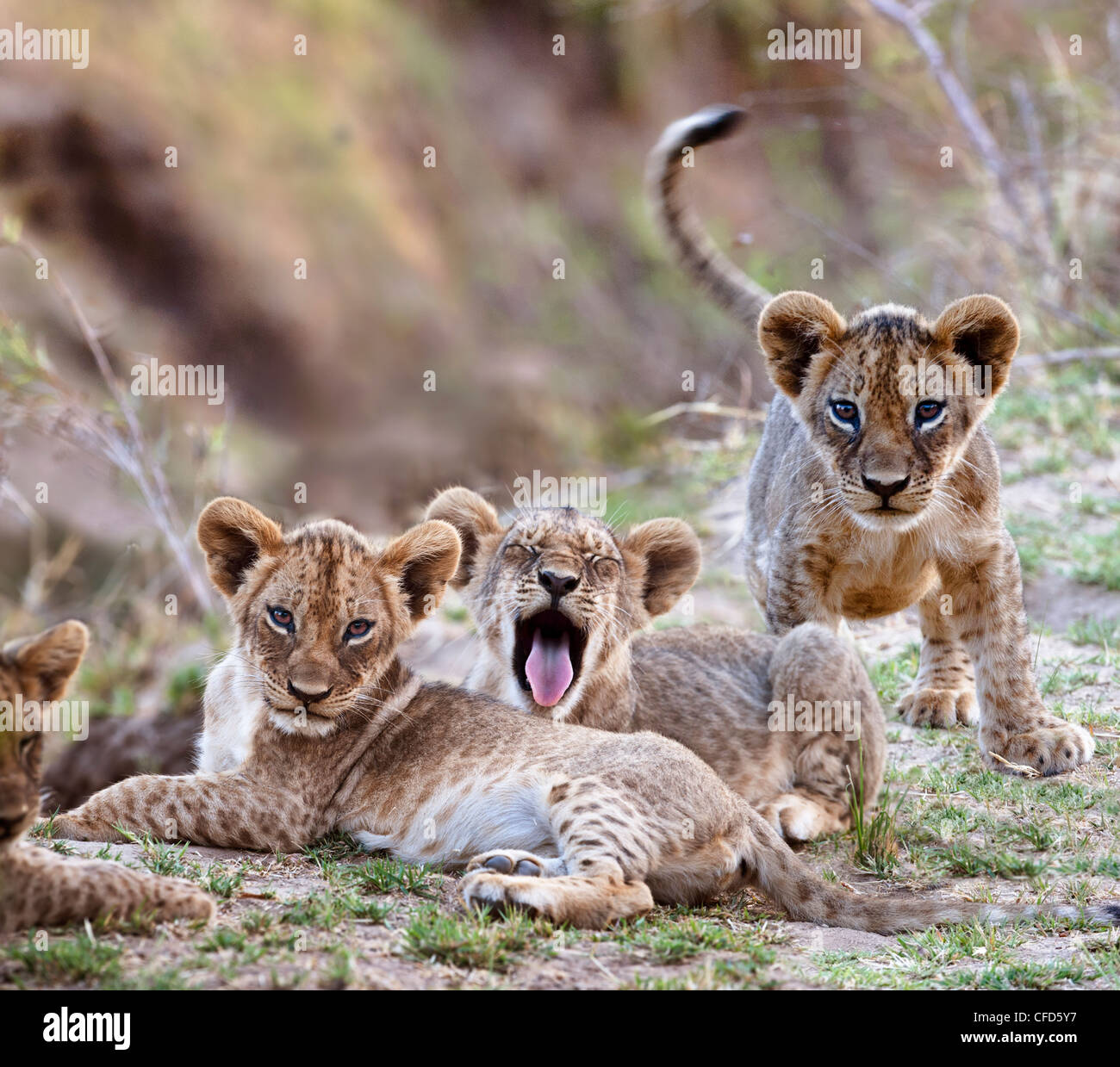 African Lion cubs  - approx 3 months old - near the Luangwa River. South Luangwa National Park, Zambia Stock Photo