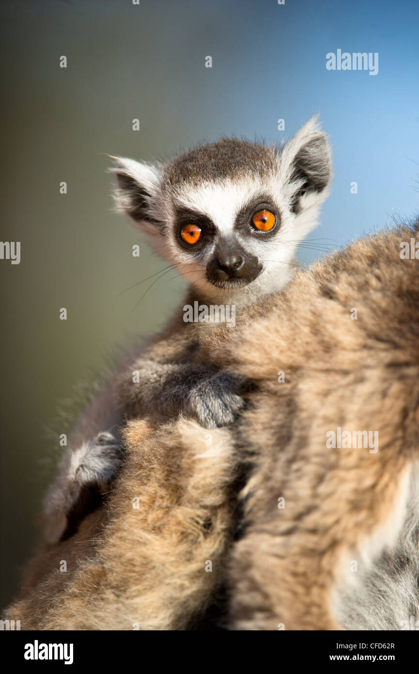 Infant Ring-tailed Lemur (6-8 weeks) clinging to mother. Berenty Private Reserve, southern Madagascar - Stock Image