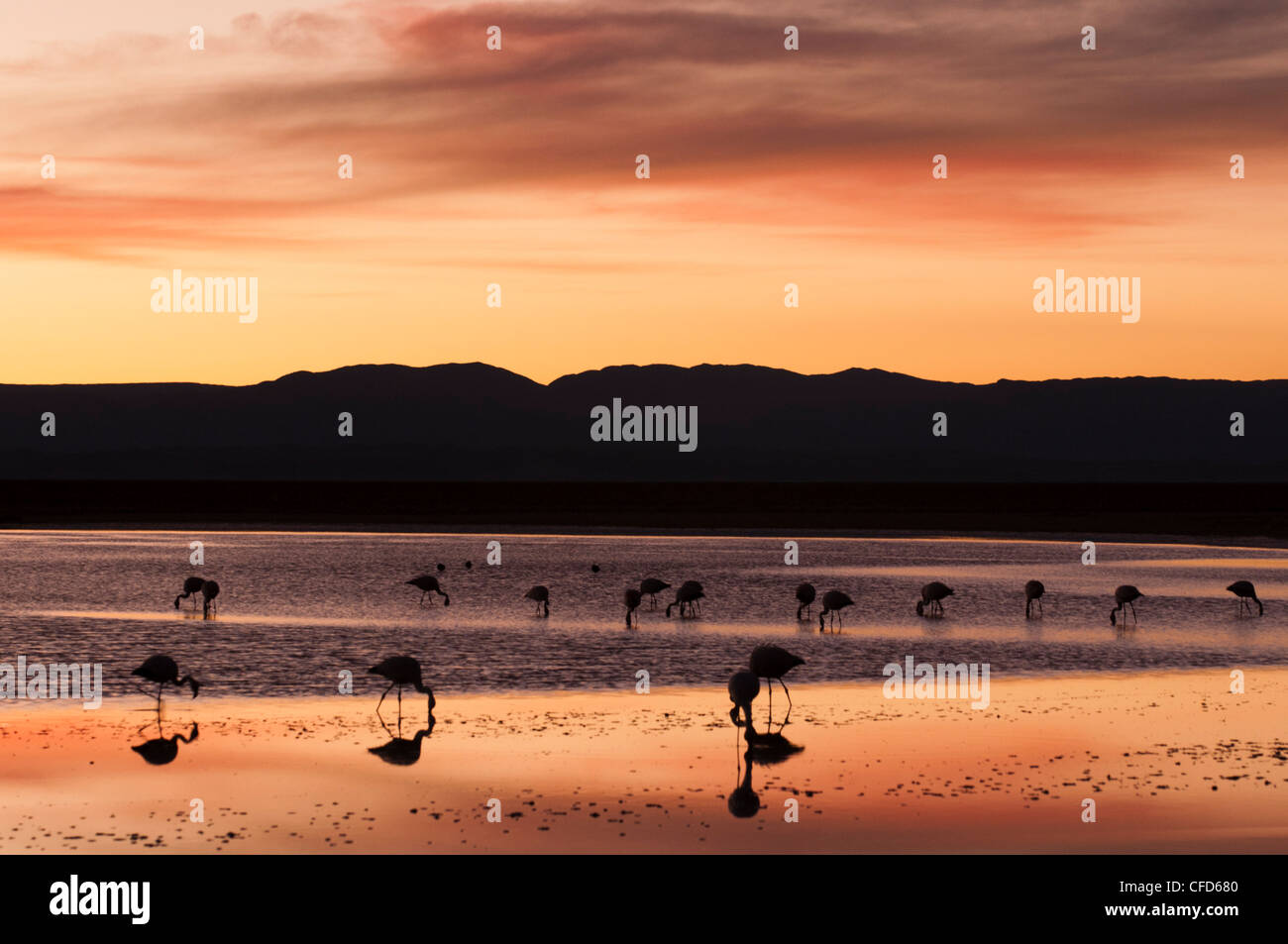Chilean Flamingo (Phoenicopterus chilensis), Laguna Chaxa, Salar de Atacama, Atacama Desert, Chile, South America - Stock Image