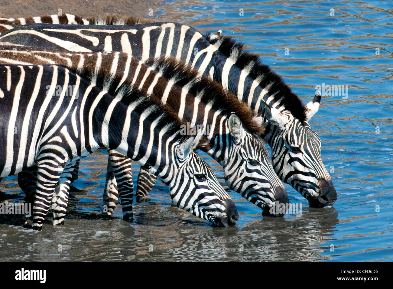 Plains zebras (Equus burchelli) drinking at a temporary river, Masai Mara Reserve, Northern Serengeti Plains, Kenya - Stock Image