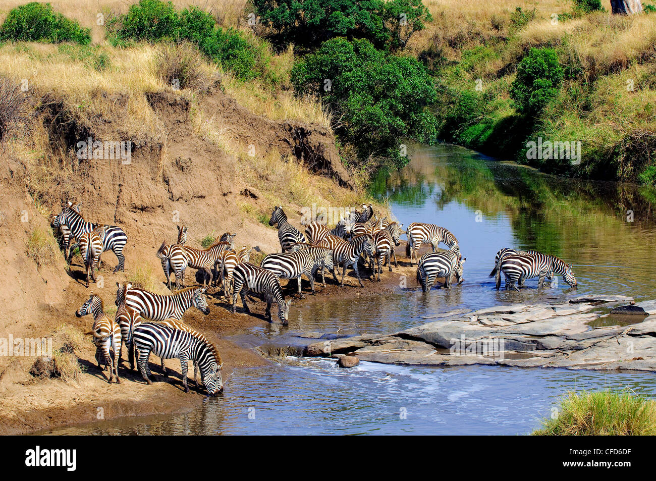 Plains zebras (Equus burchelli) drinking at a temporary river, Masai Mara Reserve, Northern Serengeti Plains, Kenya, - Stock Image