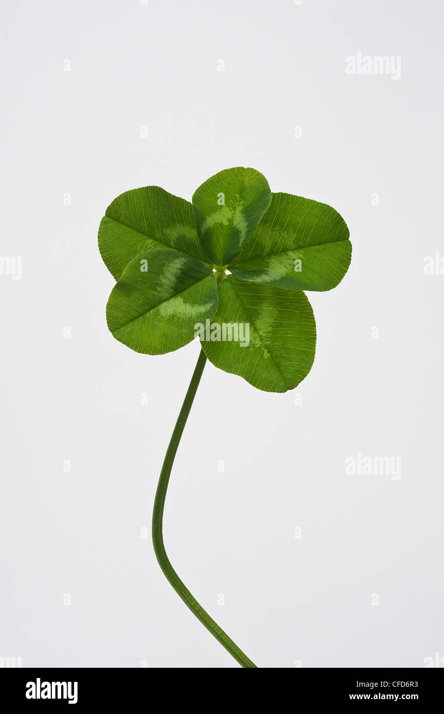 Five Leaf Clover Stock Photo 43931303