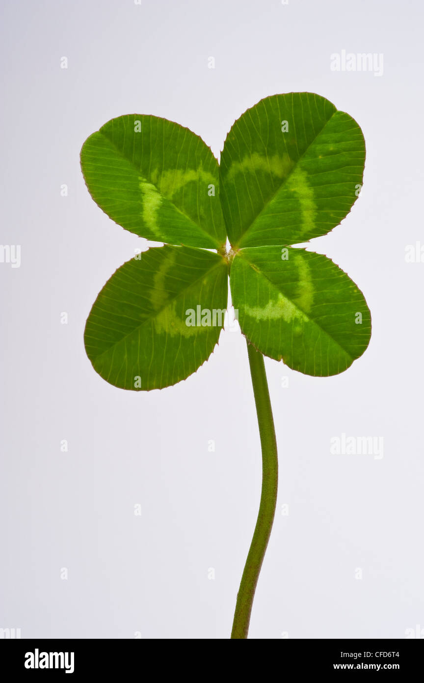 Four leaf clover on plain white background - Stock Image
