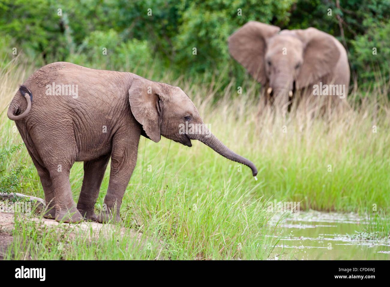 Young African elephant (Loxodonta africana) drinking, Hluhluwe Umfolozi Park, Kwazulu Natal, South Africa, Africa Stock Photo