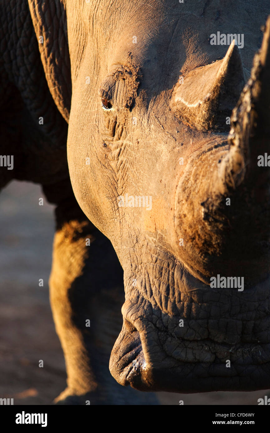White rhino (Ceratotherium simum), close up with eye, Hlane Royal National Park game reserve, Swaziland, Africa - Stock Image