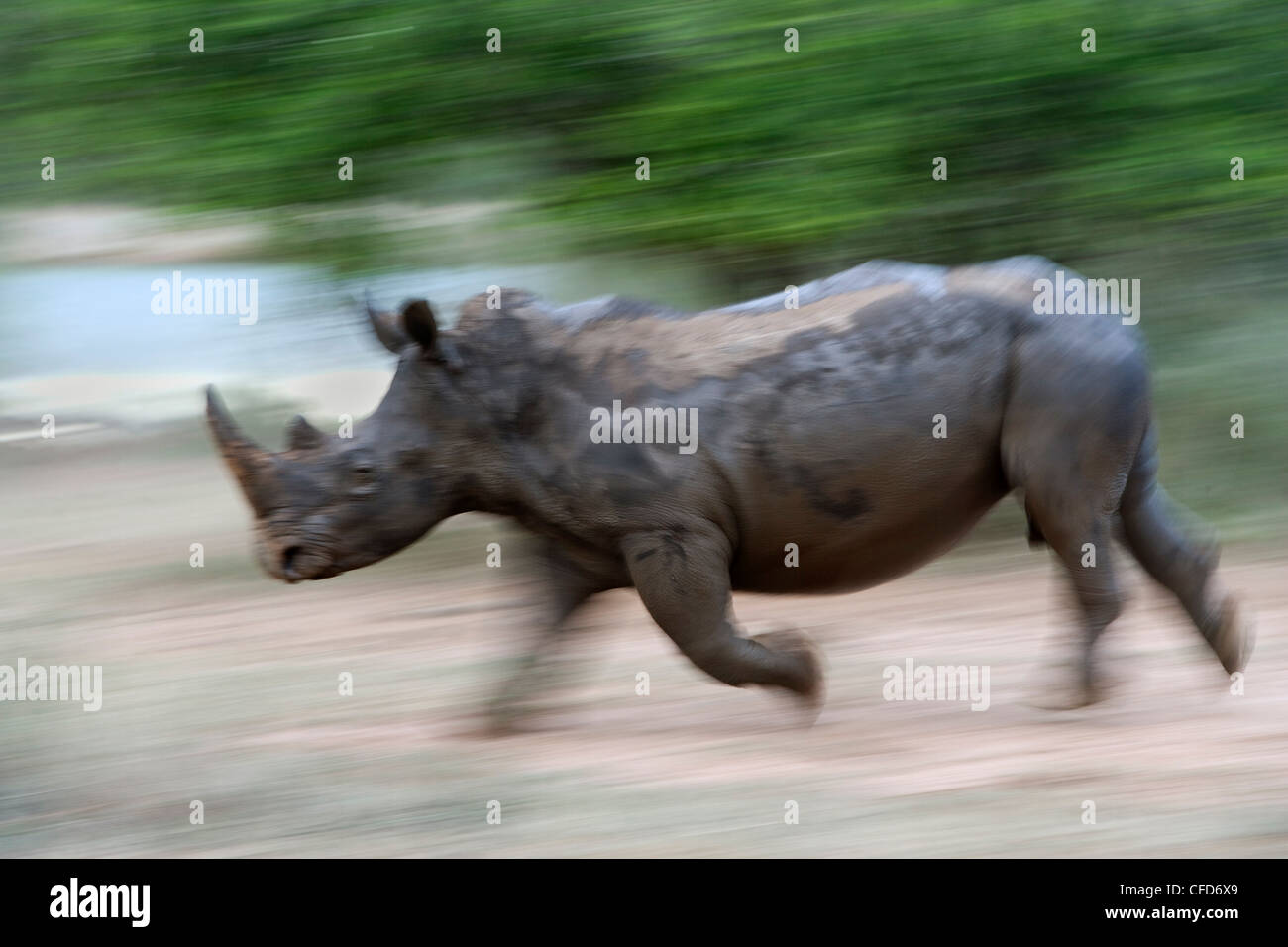 White rhino (Ceratotherium simum) charging, Hlane Royal National Park game reserve, Swaziland, Africa Stock Photo