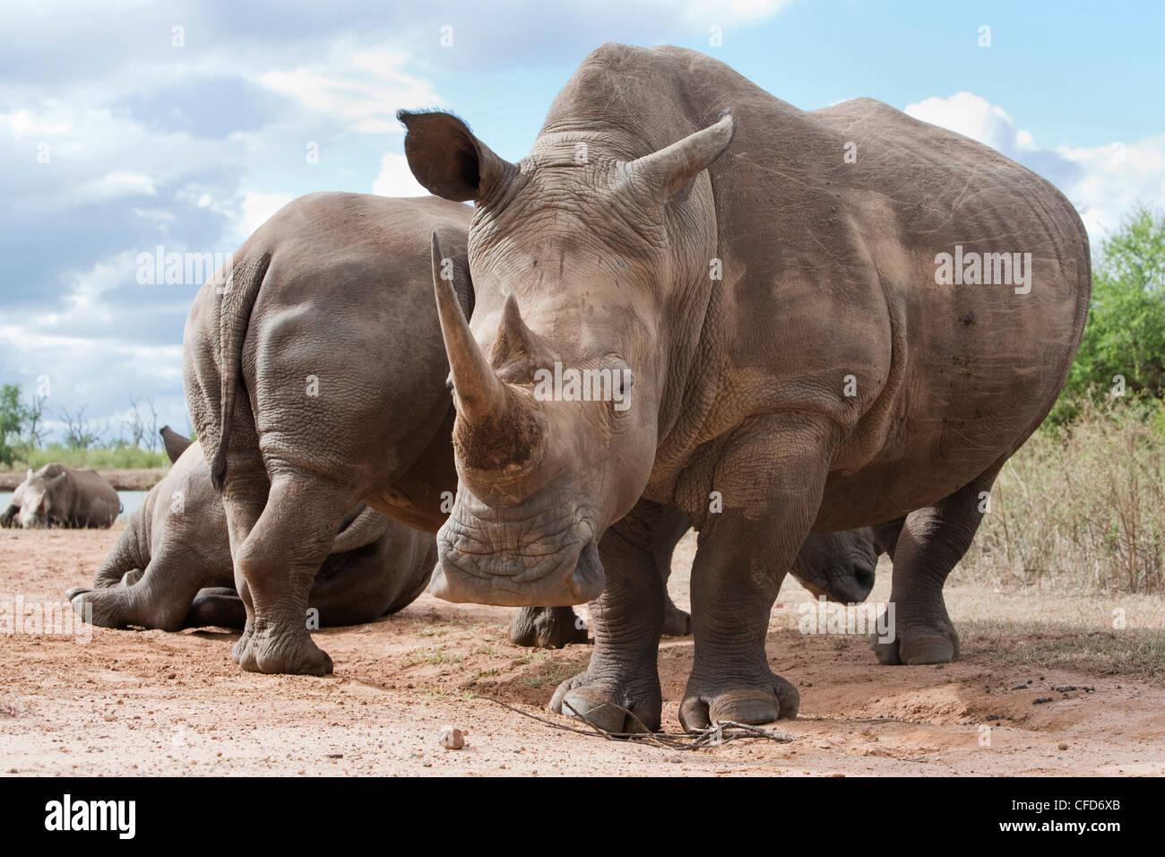 White rhino (Ceratotherium simum), Royal Hlane National Park, Swaziland, Africa - Stock Image