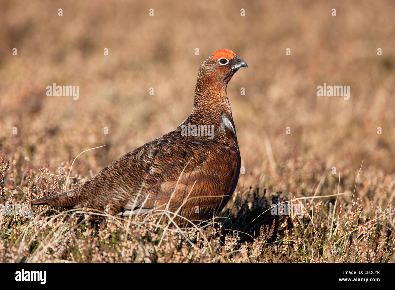 Red grouse (Lagopus lagopus), male, in heather, County Durham, England, United Kingdom, Europe - Stock Image