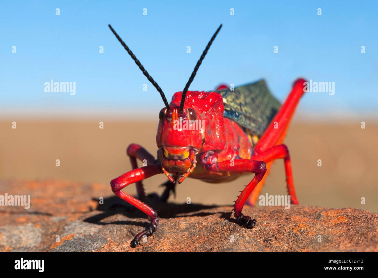 Common milkweed locust (Phymateus morbillosus), Samara private game reserve, Karoo, South Africa, Africa - Stock Image