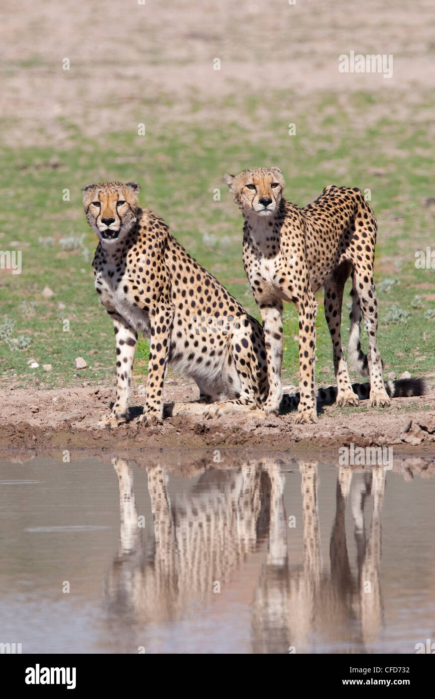 Cheetah (Aconinyx jubatus), at water, Kgalagadi Transfrontier Park, South Africa, Africa - Stock Image