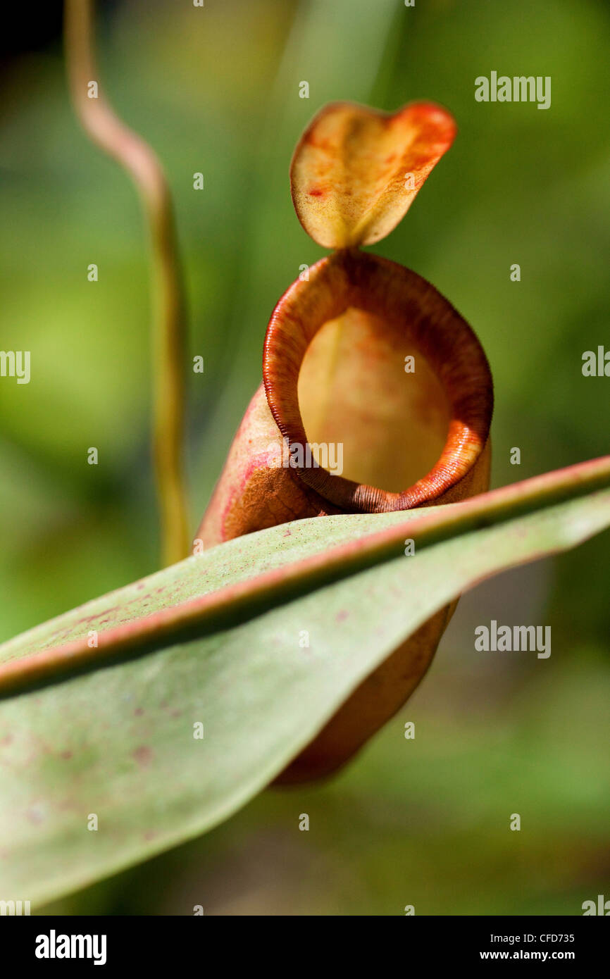 Close up of a carnivorous plant, Khao Sok National Park, Andaman Sea, Thailand - Stock Image