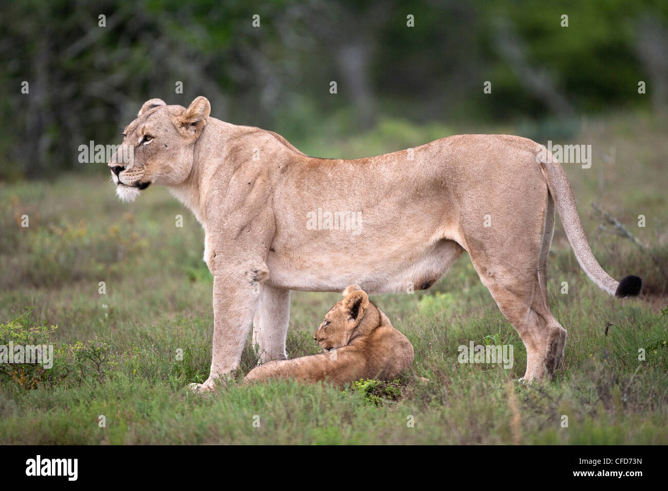 Lioness with cub (Panthera leo) Kwandwe private reserve, Eastern Cape, South Africa, Africa - Stock Image