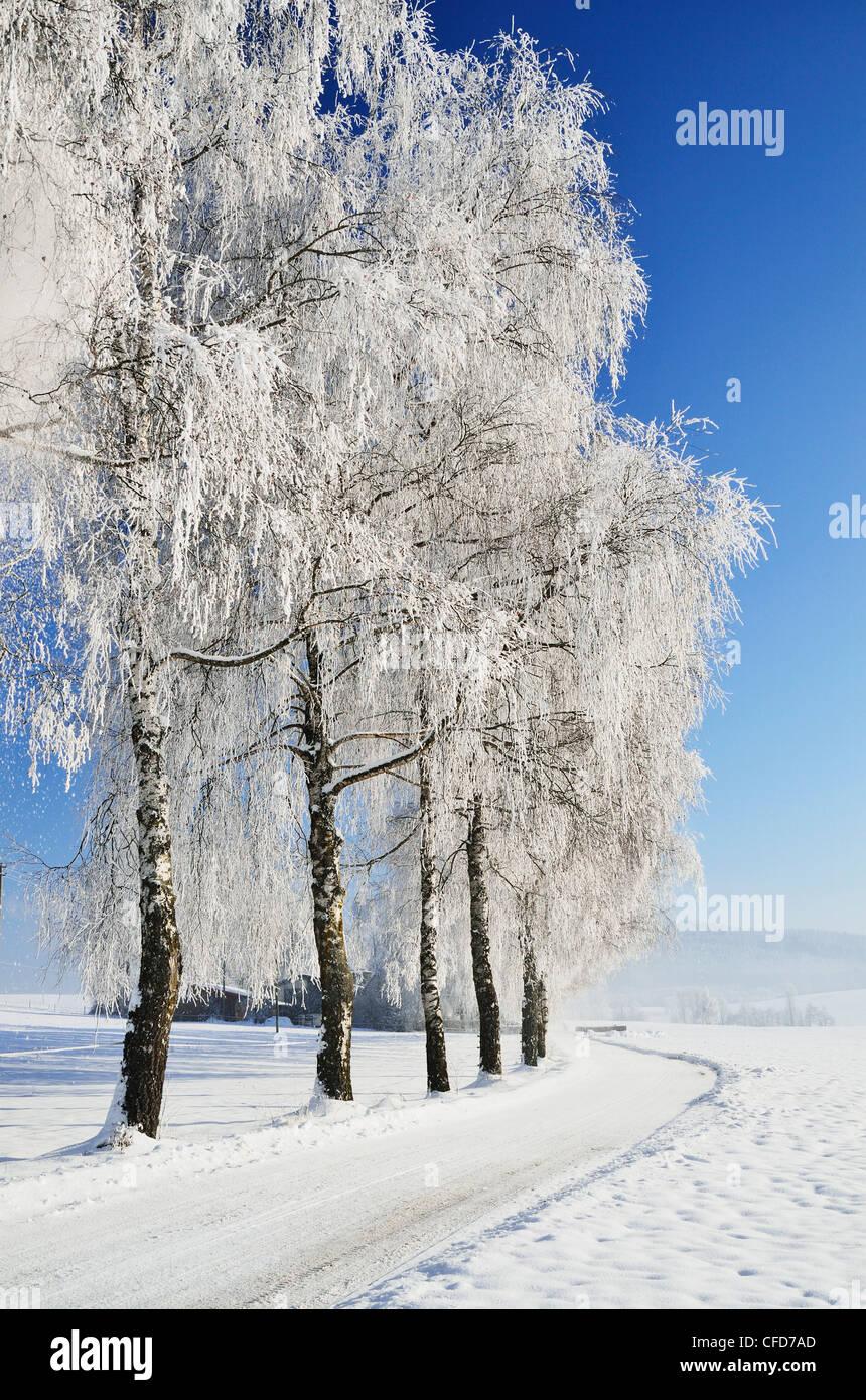Birch trees with hoarfrost,,Forest-Baar (Schwarzwald-Baar) district, Baden-Wurttemberg, Germany - Stock Image