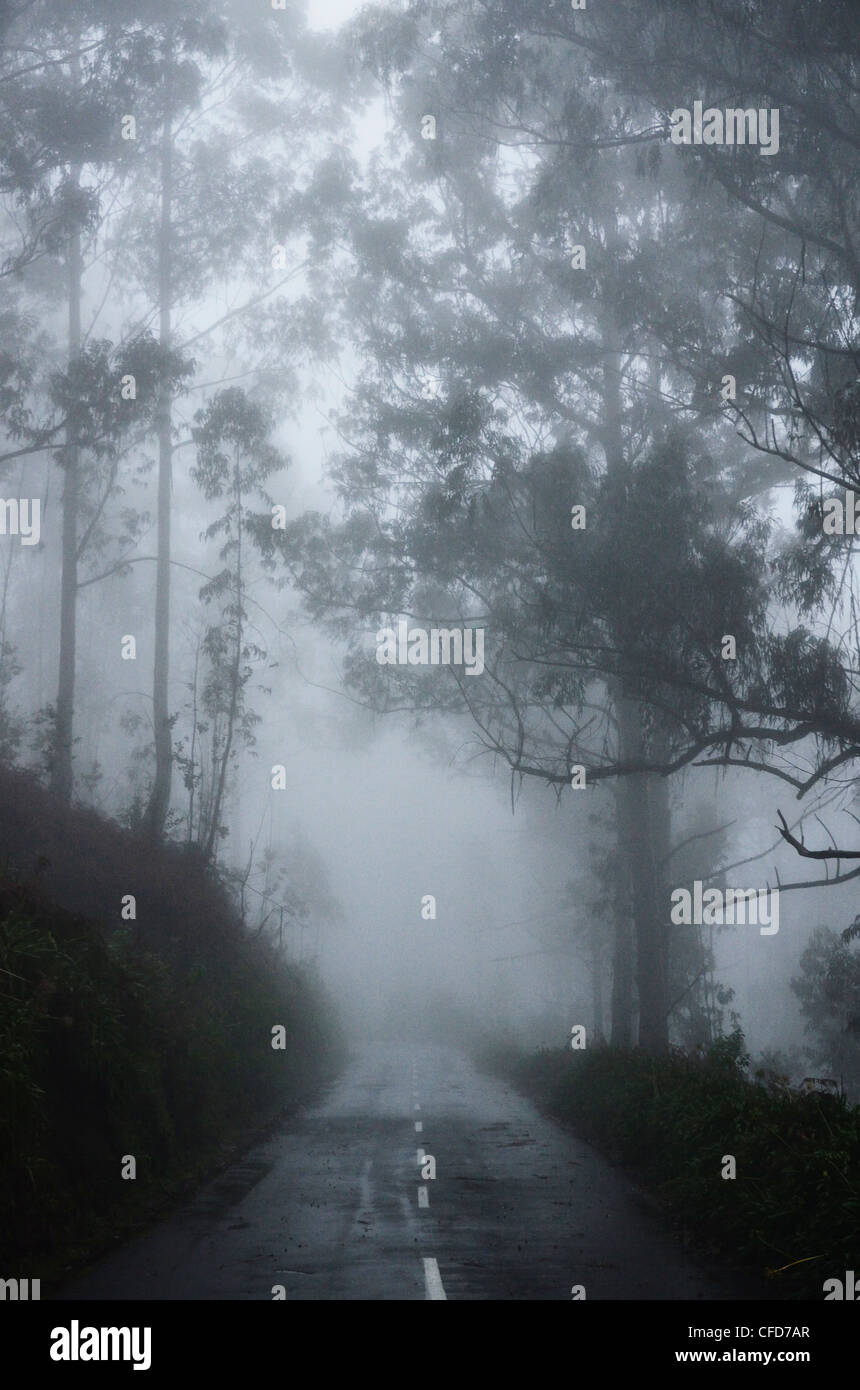 Forest in fog, near Achadas da Cruz, Madeira, Atlantic Ocean, Portugal, Europe - Stock Image