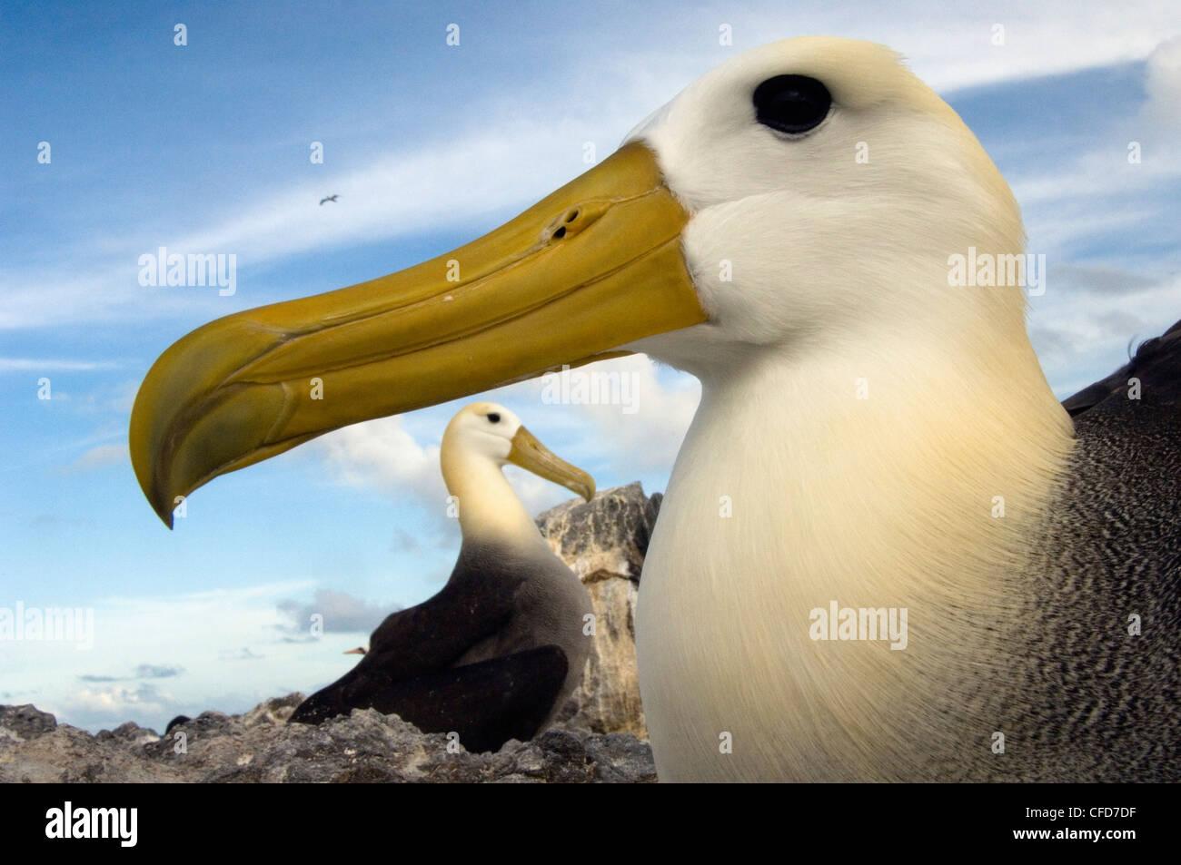 Waved Albatross, Punto Cevallos, Espanola (Hood) Island, Galapagos Islands, Ecuador, South America. (critically - Stock Image