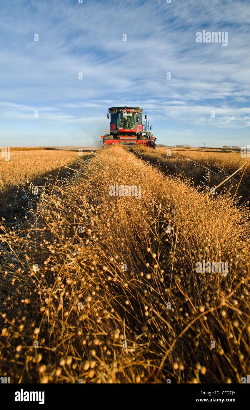 A combine harvests flax, near Lorette, Manitoba, Canada - Stock Image