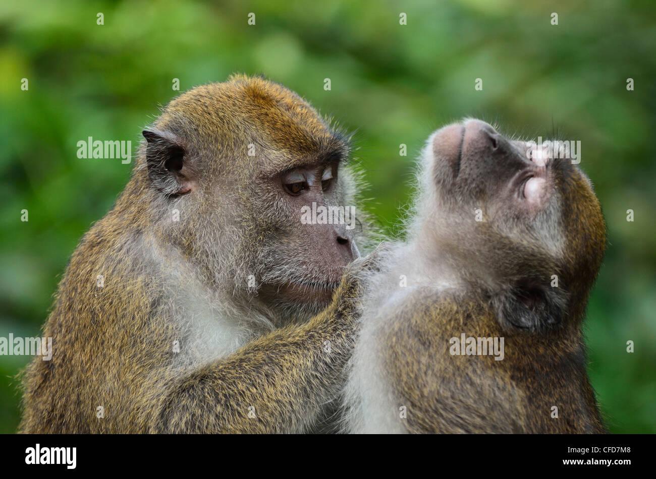 Macaques, Sabah, Borneo, Malaysia, Southeast Asia, Asia - Stock Image