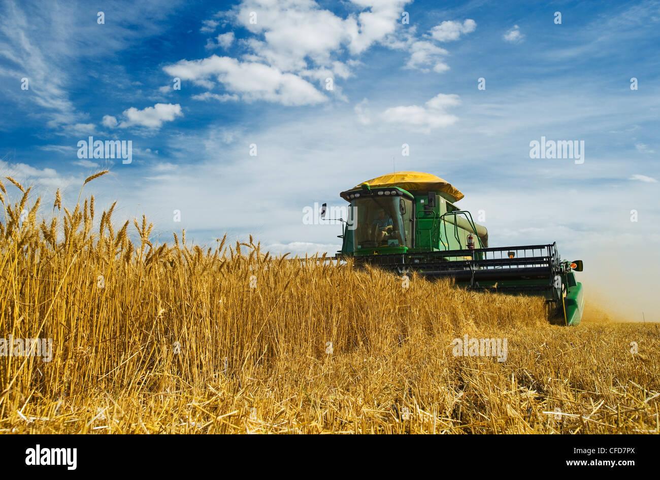 Winter wheat harvest near Kane, Manitoba, Canada - Stock Image