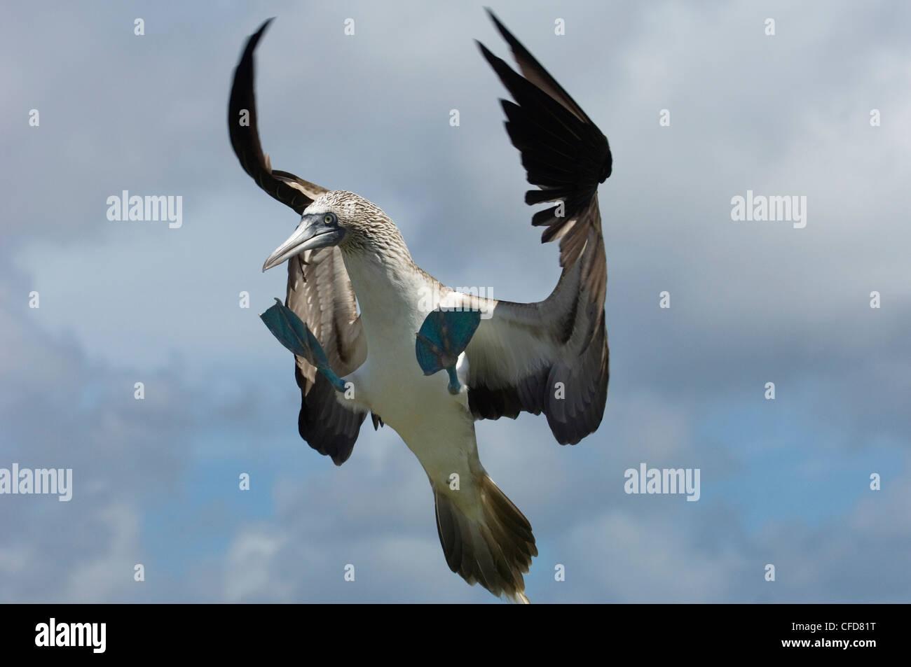 Blue-footed booby, Punto Cevallos, Espanola (Hood) Island, Galapagos Islands, Ecuador, South America. - Stock Image