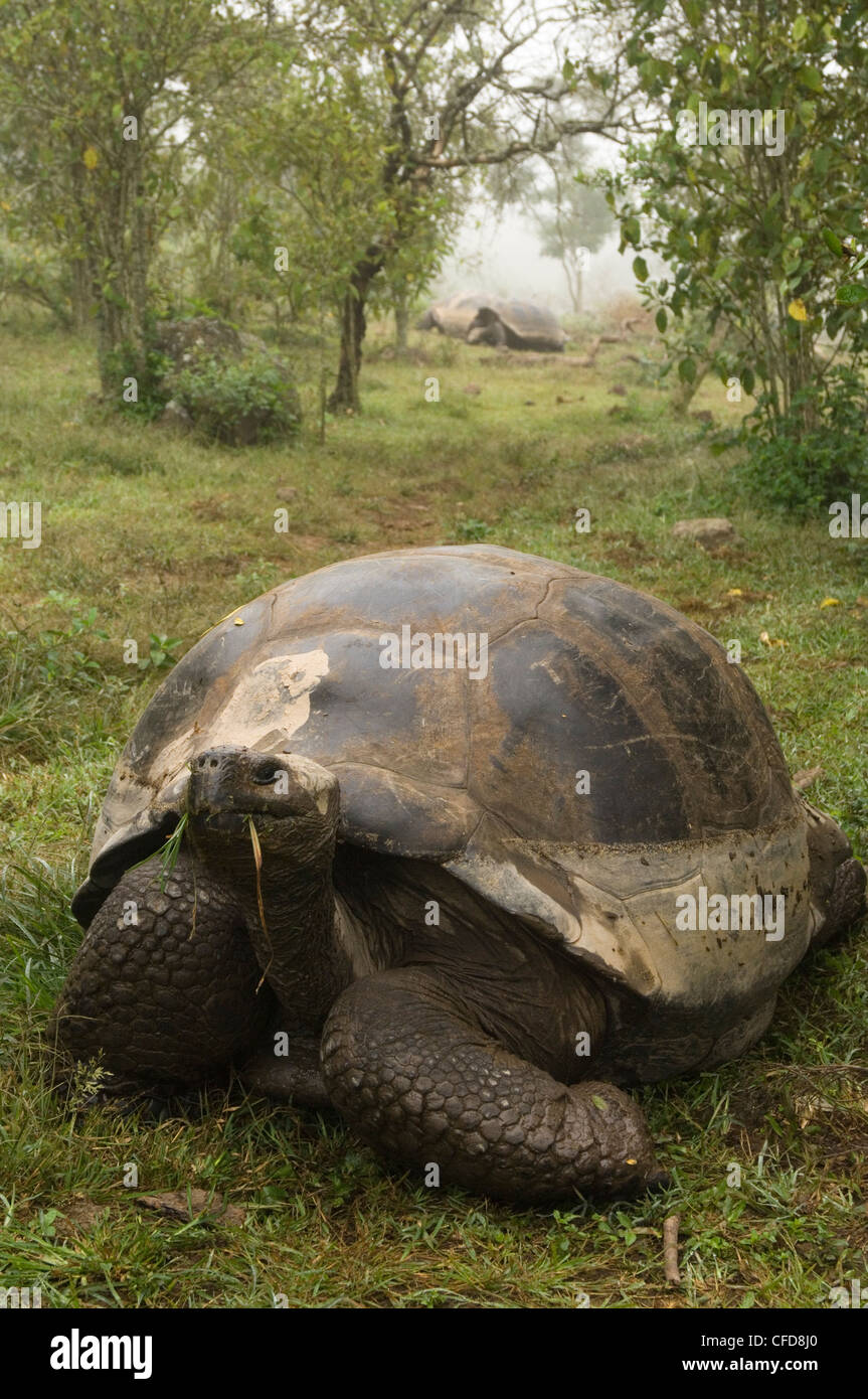 Galapagos Giant Tortoise, Alcedo Volcano crater floor, Isabela Island, Galapagos Islands, Ecuador, South America. - Stock Image