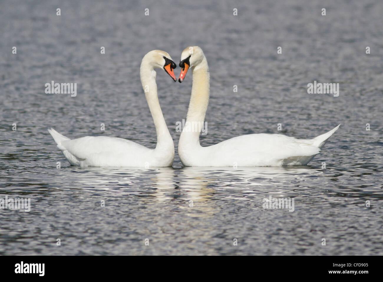 Mute Swan (Cygnus olor) swimming in a pond near Victoria, BC, Canada. - Stock Image