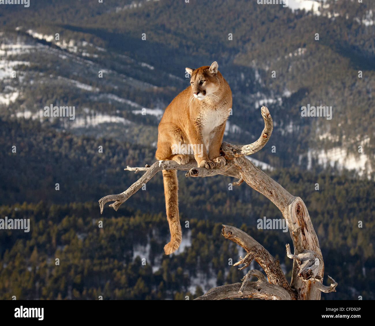 Mountain Lion (Cougar) (Felis concolor) in a tree in the snow, in captivity, near Bozeman, Montana, United States - Stock Image