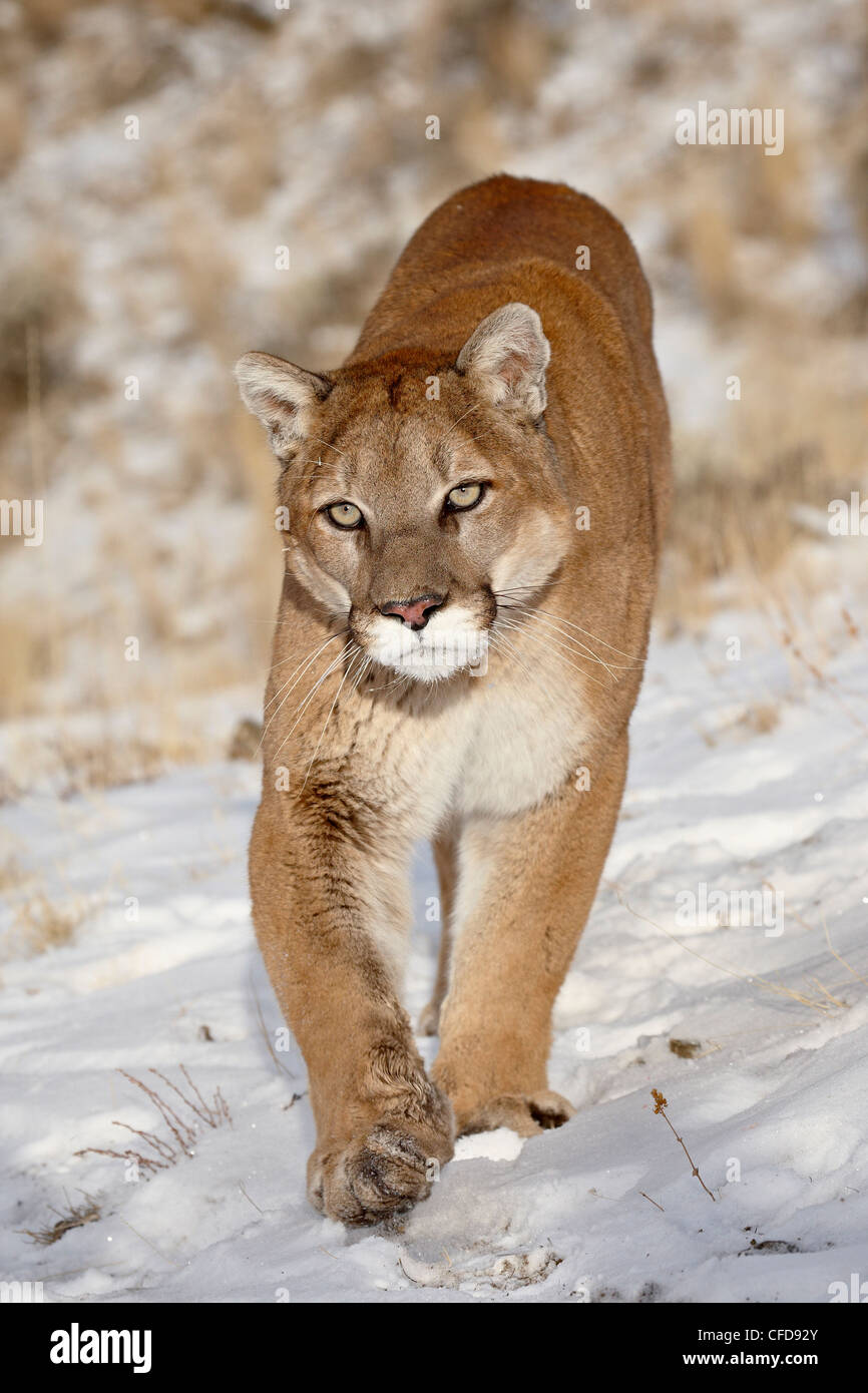 Mountain Lion (Cougar) (Felis concolor) in the snow, in captivity, near Bozeman, Montana, United States of America - Stock Image