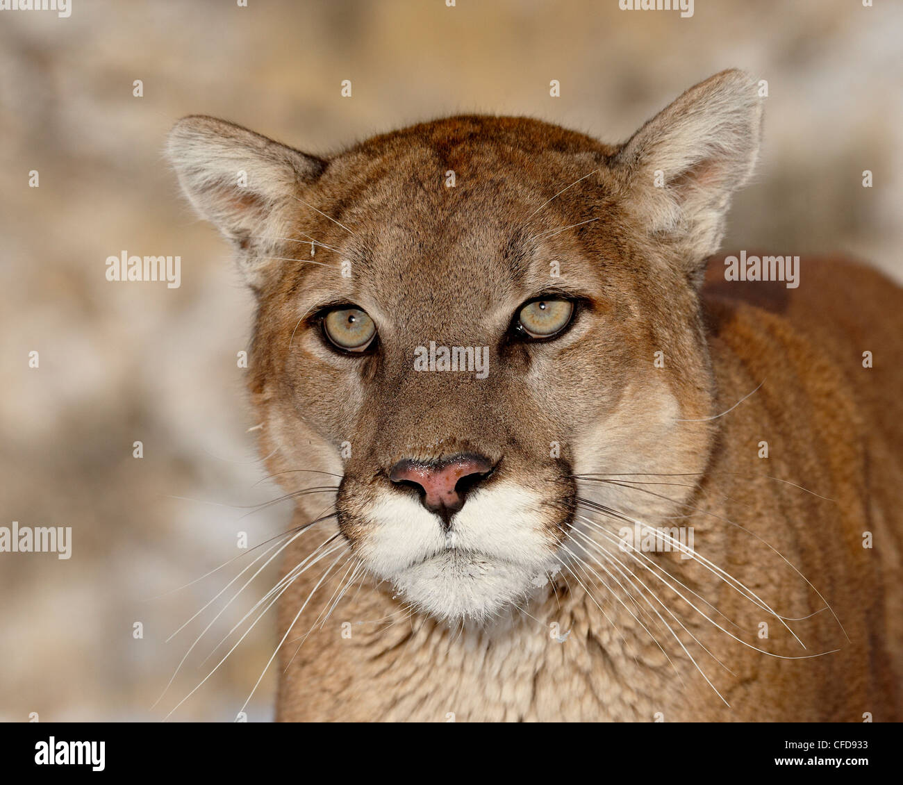 Mountain Lion (Cougar) (Felis concolor) in captivity, near Bozeman, Montana, United States of America, - Stock Image