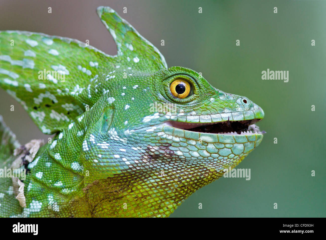 plumed basilisk, Basiliscus plumifrons, eating an insect in Costa Rica. Stock Photo