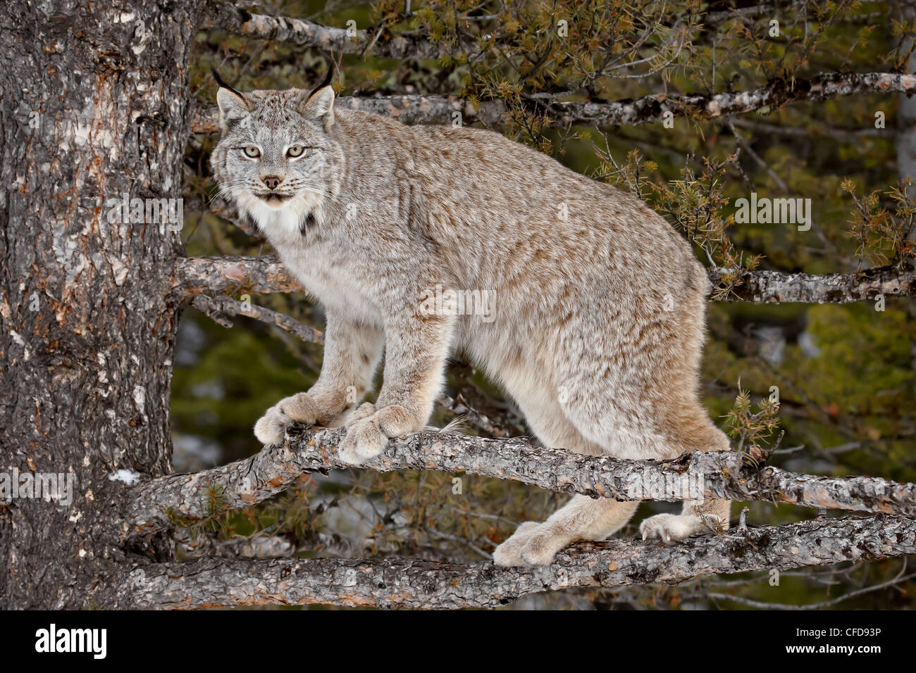 Canadian Lynx (Lynx canadensis) in a tree, in captivity, near Bozeman, Montana, United States of America, - Stock Image