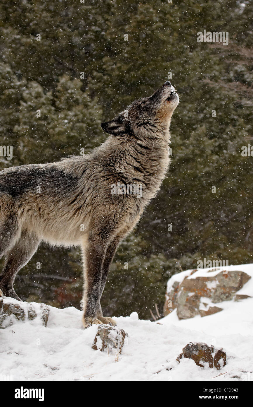 Captive gray wolf (Canis lupus) howling in the snow, near Bozeman, Montana, United States of America, - Stock Image