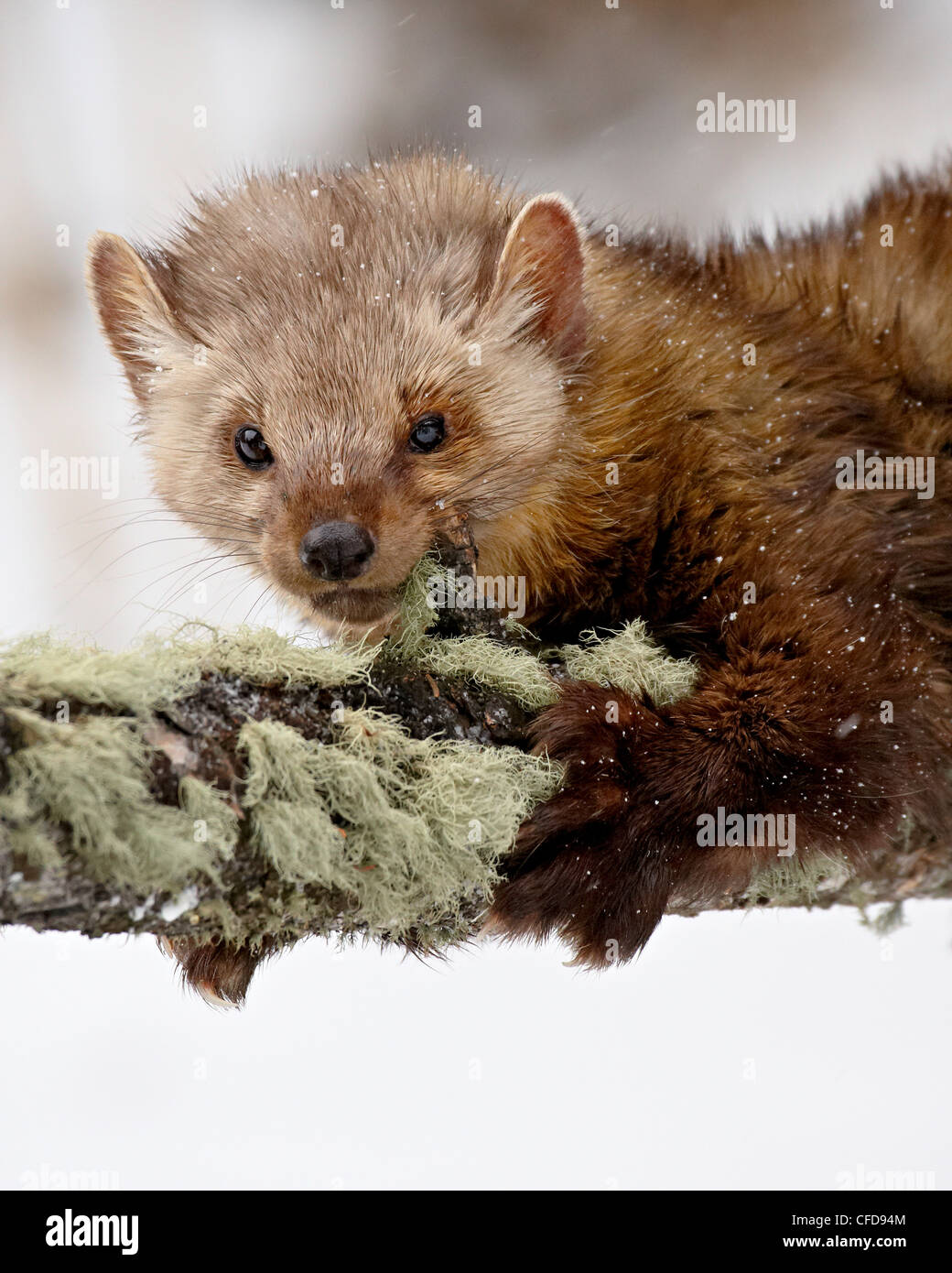 Captive fisher (Martes pennanti) in a tree in the snow, near Bozeman, Montana, United States of America, - Stock Image