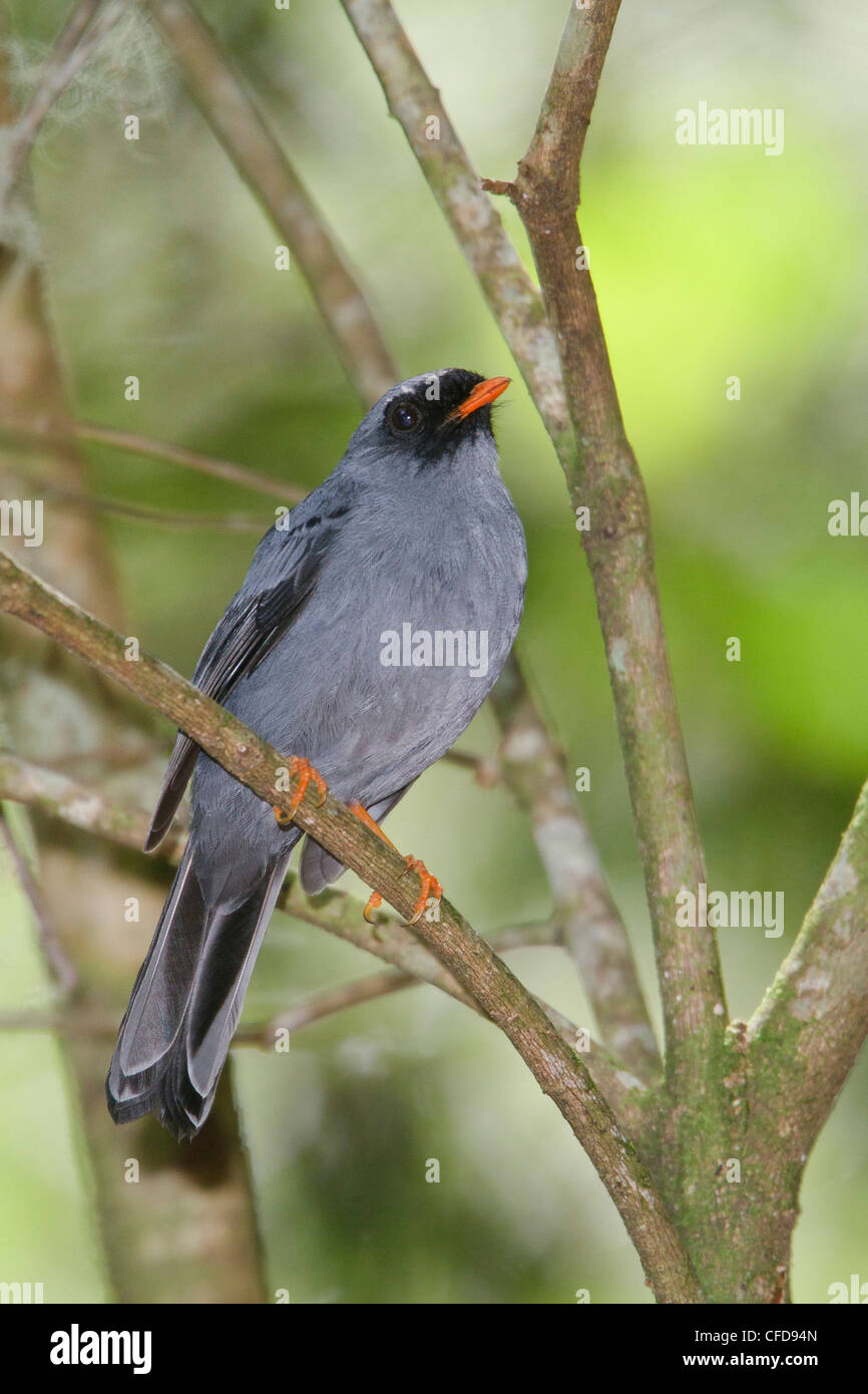 Black-faced Solitaire (Myadestes melanops) perched on a branch in Costa Rica. - Stock Image