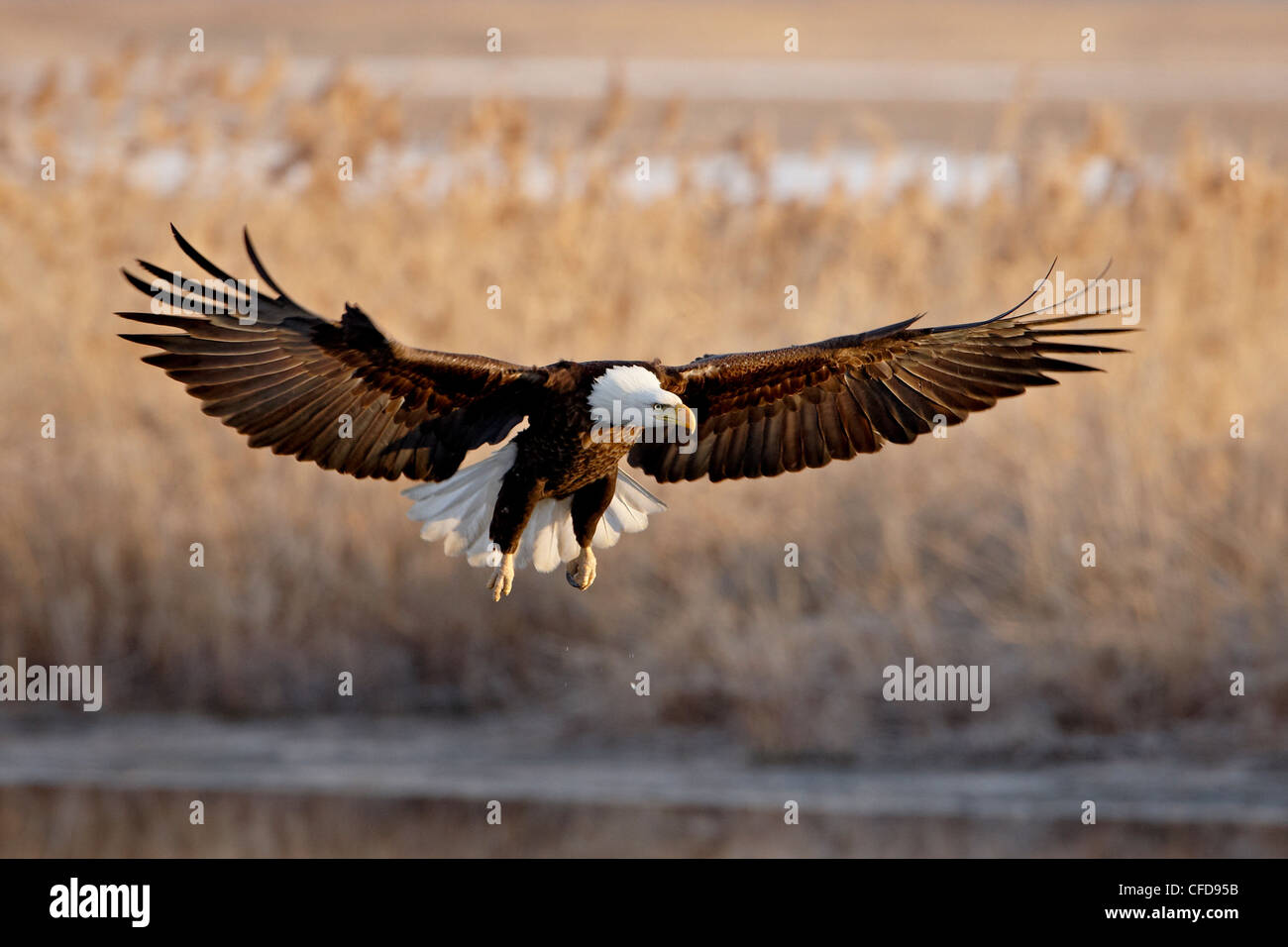 Bald eagle (Haliaeetus leucocephalus) in flight on final approach, Farmington Bay, Utah, United States of America, - Stock Image