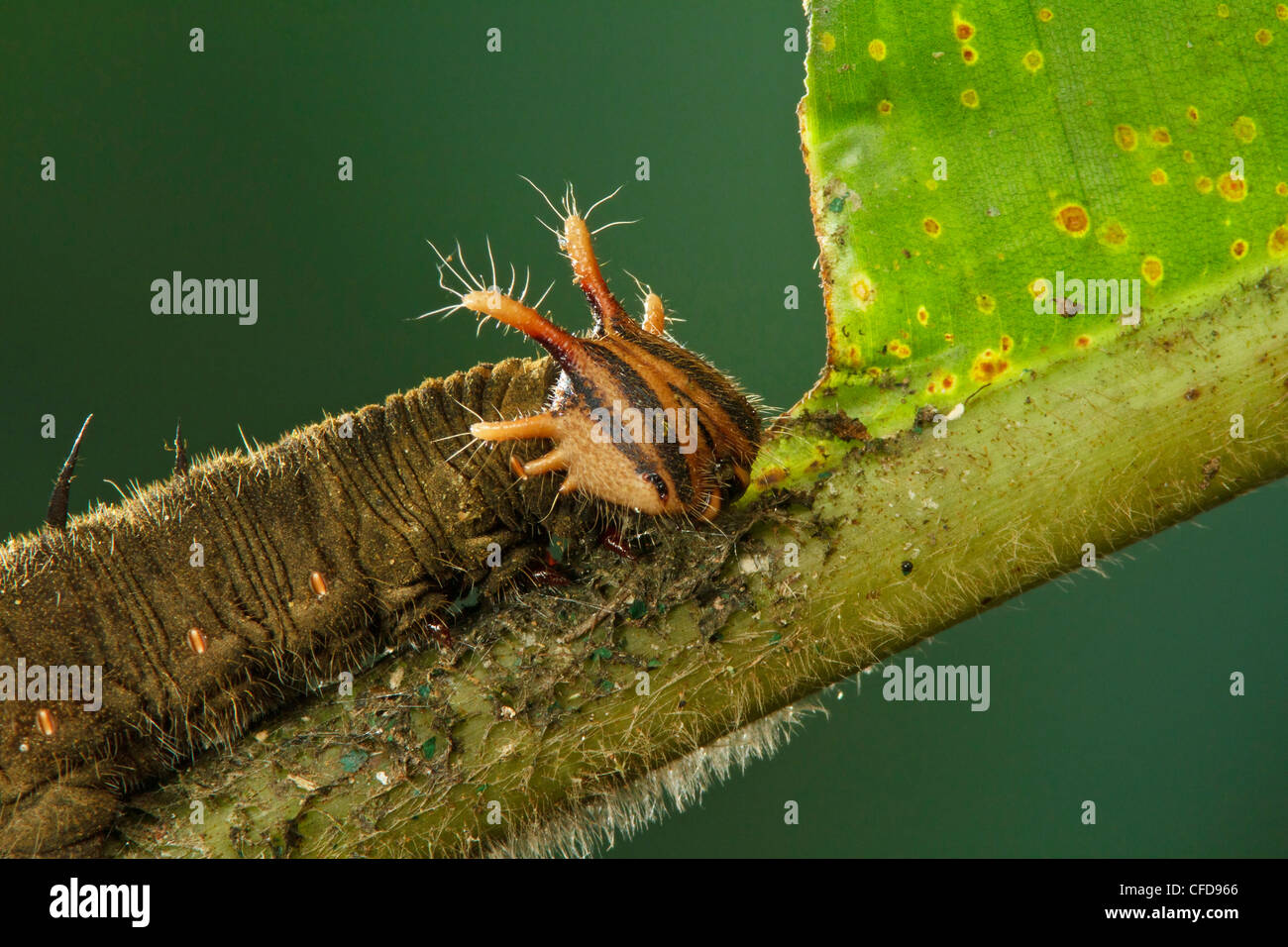 Caterpillar perched on a heliconia leaf in Costa Rica. - Stock Image