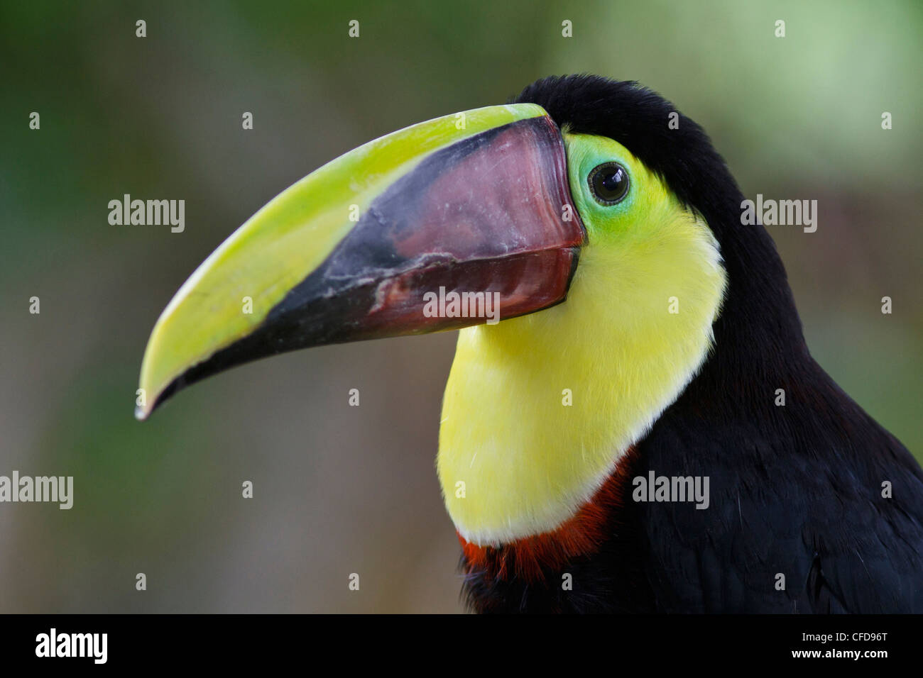 Chestnut-mandibled Toucan (Ramphastos swainsonii) perched on a branch in Costa Rica. Stock Photo