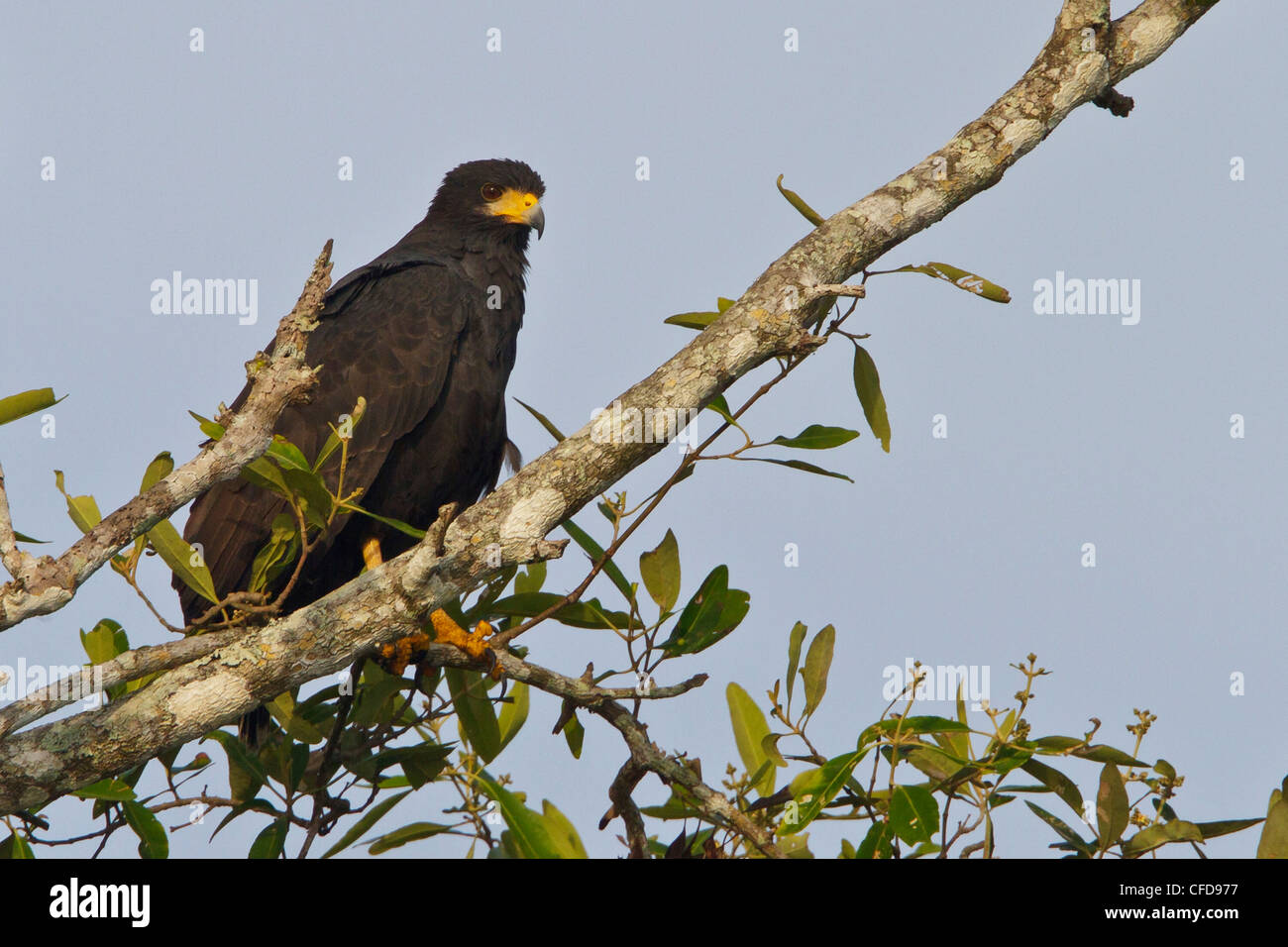 Common Black-Hawk (Buteogallus anthracinus) perched on a branch in Costa Rica. - Stock Image
