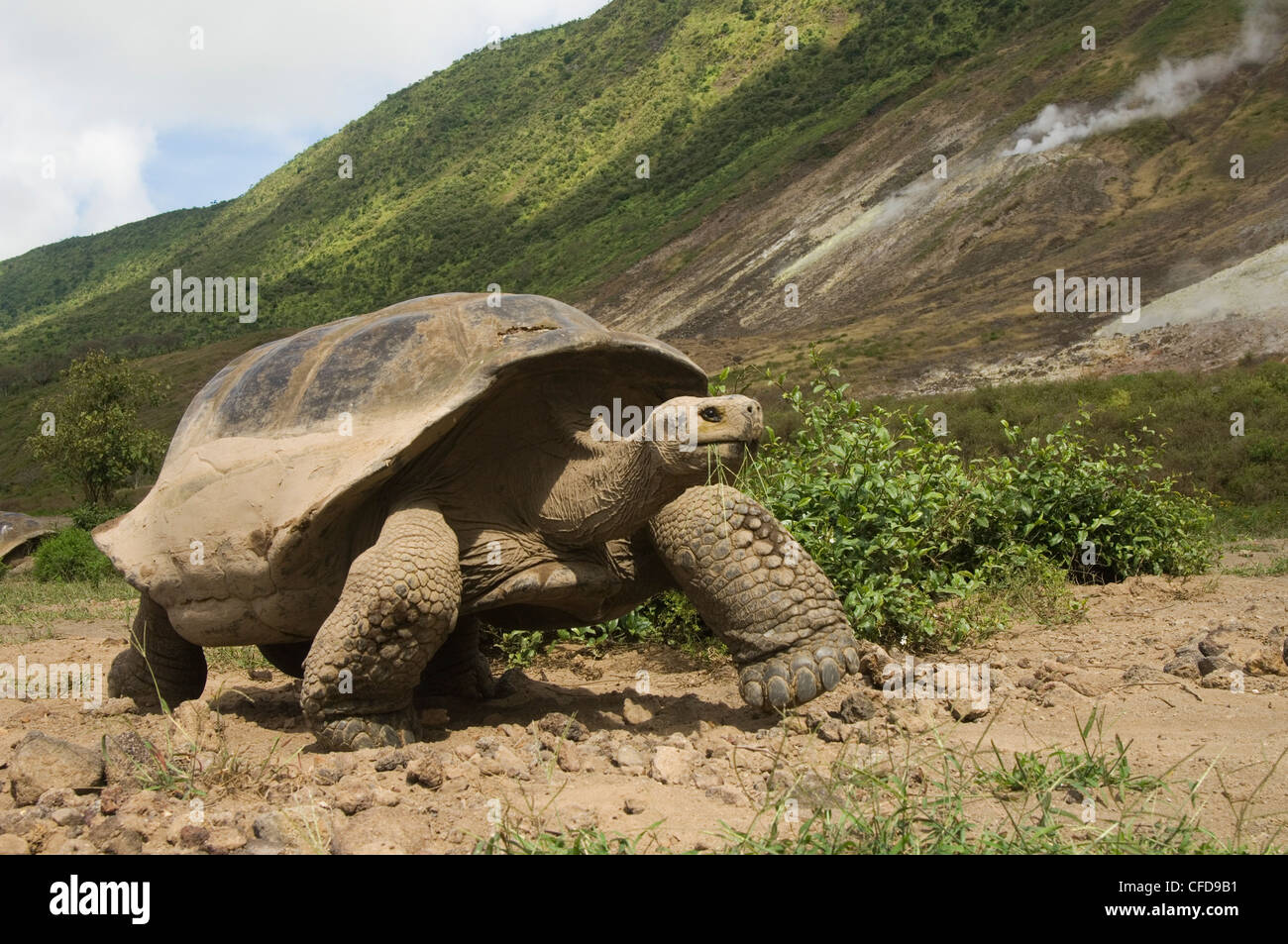 Galapagos Giant Tortoise and steam vent, Alcedo Volcano, Isabela Island, Galapagos Islands, Ecuador, South America. - Stock Image
