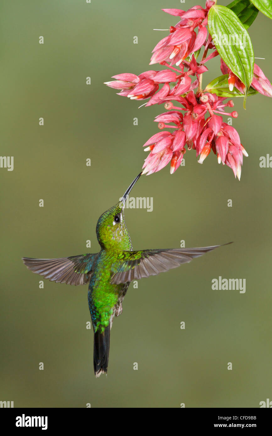 Green-crowned Brilliant (Heliodoxa jacula) flying and feeding at a flower in Costa Rica. - Stock Image