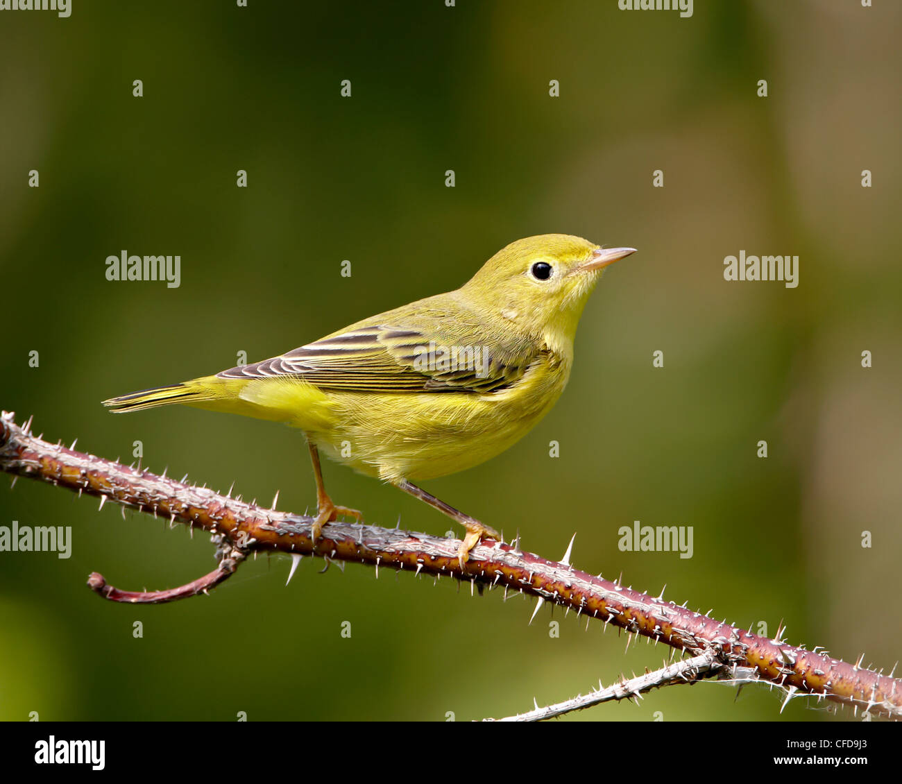 Yellow warbler (Dendroica petechia), near Palmer, Alaska, United States of America, - Stock Image