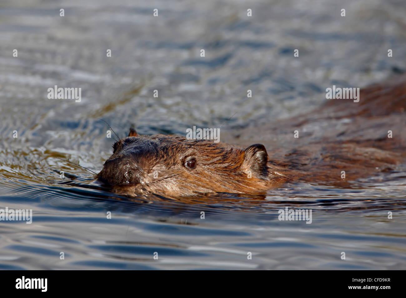 Beaver (Castor canadensis) swimming, Denali National Park and Preserve, Alaska, United States of America, - Stock Image
