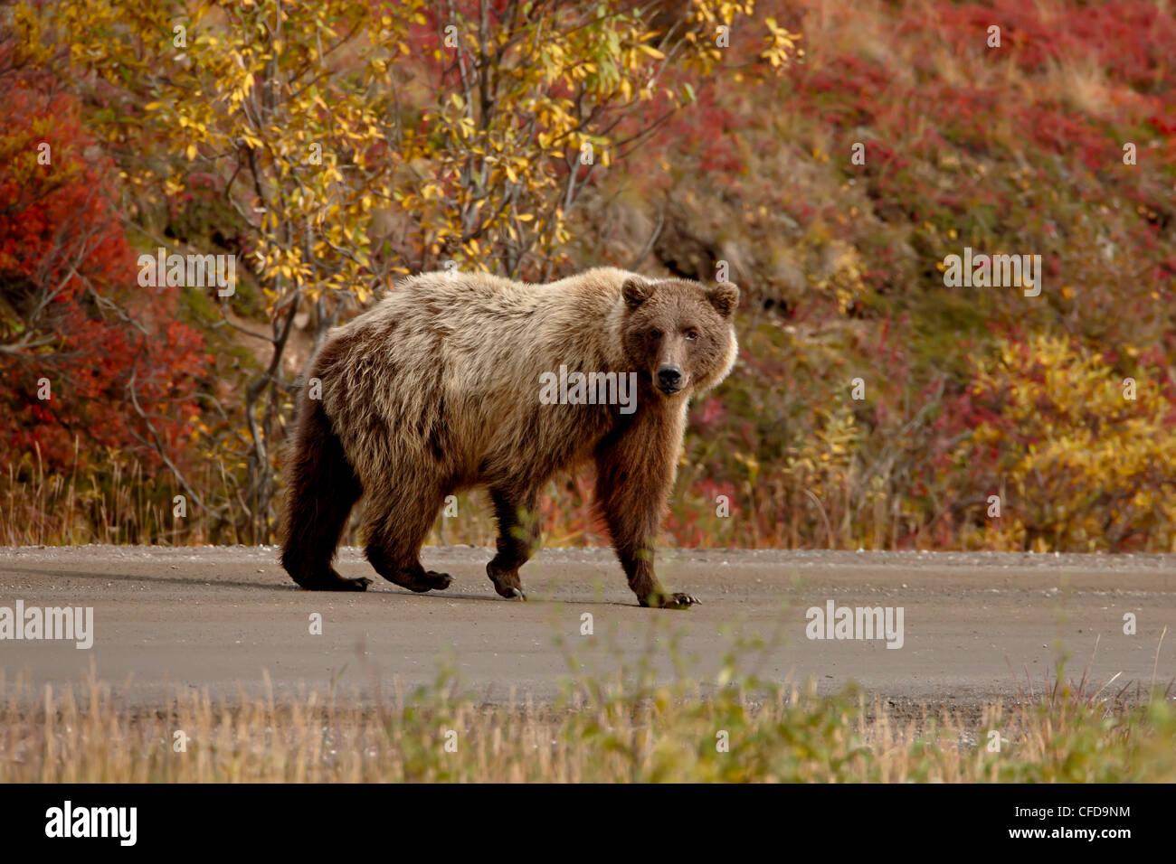 Grizzly bear (Ursus arctos horribilis) (Coastal brown bear) on a road, Denali National Park and Preserve, Alaska, - Stock Image
